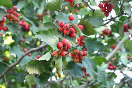 The branches with ripe fruits of hawthorn Stock Photo