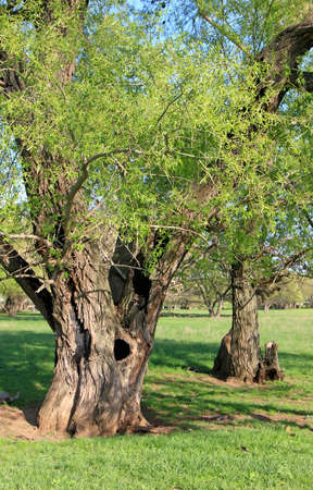 Two old trees close-up on the background of trees and grazing sheep Stock Photo