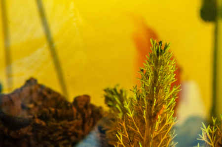 Underwater plants in the dirty yellow water of a home aquarium
