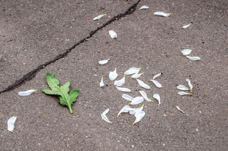White petals and green leaf of chrysanthemum on gray asphalt