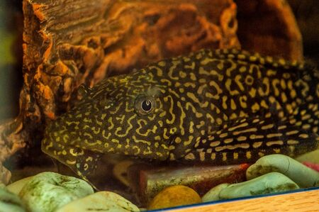 Decorative freshwater catfish fish in aquarium closeup