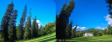 Crooked pine trees in the Royal Botanic Gardens. Kandy, Sri Lanka. Collage of two photos to advertise travel, vacation or tourist trip