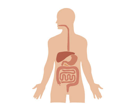 Internal organs human. Vector illustration. Isolated white background