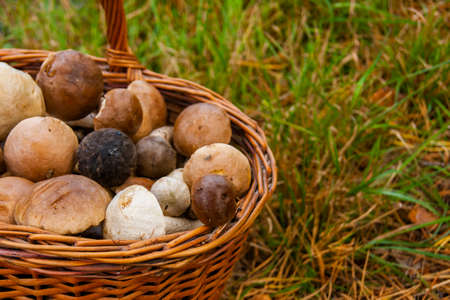 Full basket with edible mushrooms stands on the grass in forest.