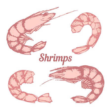 Set of different shrimps, peeled shrimp, hand-drawing line art. Vector.