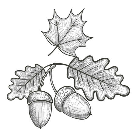 Monochrome sketch style illustration of an oak and a maple leaf, acorn. Vector. Illustration