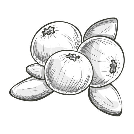 Monochrome sketch style illustration of cranberry on a white background. Vector.
