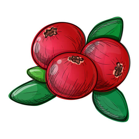 Colorful sketch style illustration of cranberry on a white background. Vector.