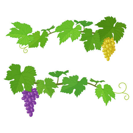 Set of bunches of grapes, colorful illustration. Vector Ilustração