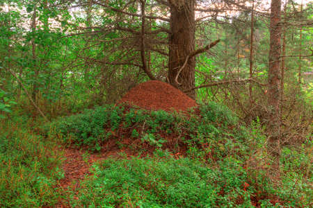anthill: Big anthill under a tree in the forest