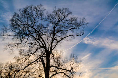 A tree with bare branches on the background of the cloudy sky with contrail Stock Photo