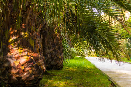 Alley with palms in Sochi Arboretum in sunny day, Russia