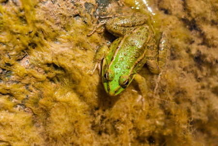 A little frog closeup sitting in algae on the stone in the river in sunny day Stock Photo