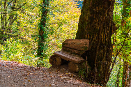 A rough bench near the big trunk of a tree growing on a cliff in sunny autumn day, Sochi, Russia Stock Photo