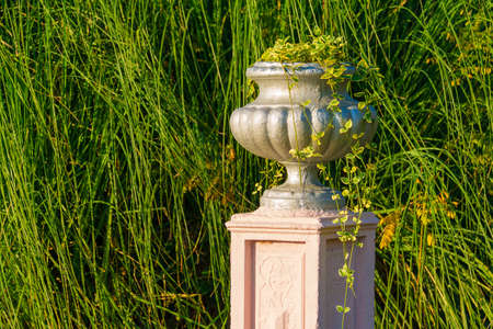 Vase with scindapsus closeup on the background of pampas grass in Arboretum in sunny uatumn day, Sochi, Russia