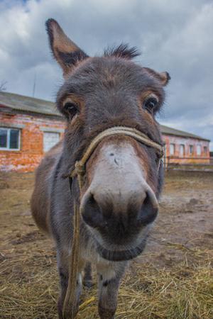 portret: donkey smile on the portret on farm