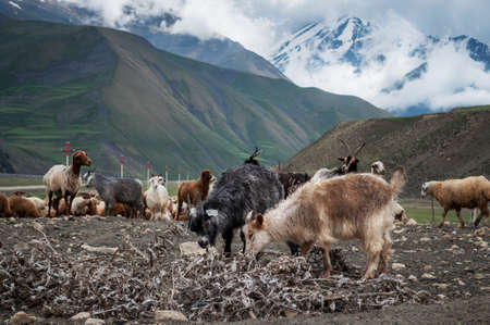 kavkaz: A herd of sheep and goats grazing in the mountains