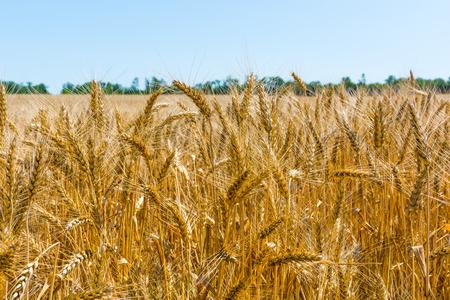Wheat field close-up and blue sky Фото со стока