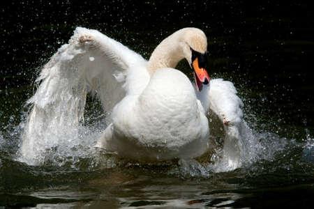 waterdrops: White swan splashing waterdrops