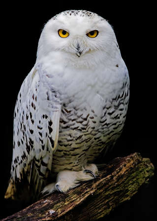waterdrops: White owl covered with waterdrops