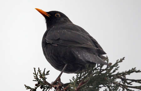 Blackbird with yellow beak on branch, covered with raindrops Stock Photo