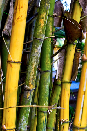 trees photography: Yellow and green bamboo tree. Fresh ripe trees. Nature texture. Travel photography.
