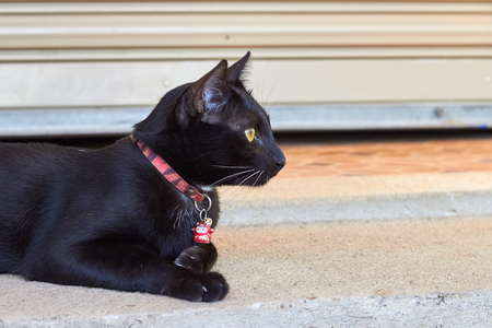lie forward: Lying calm nice adult  black cat on the floor. Animal photography. House cat.