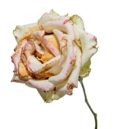 Withered white rose. Dried flowers, sadness, emotions. Bad love concept. Isolated on white.