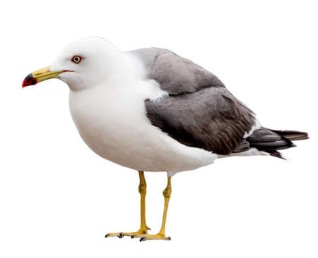 Seagull bird. Close-up view. Isolated on white.