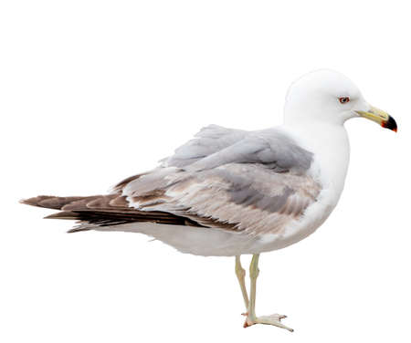 Seagull bird Close-up view Isolated on white.