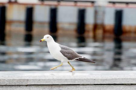 Mouette au bord de la mer à la recherche de nourriture. Vue rapprochée.