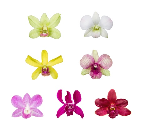 orchid flower blossom collection isolated on white background, genus : Dendrobium photo