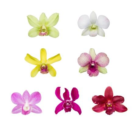 orchidee: orchidea fiore di raccolta fiore isolato su sfondo bianco, genere: Dendrobium