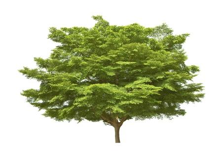 solitary tree: tree isolated on white background, binomial name Terminalia ivorensis A. Chev.