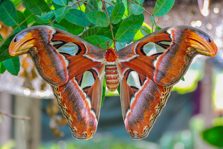 atlas: Atlas moth Stock Photo