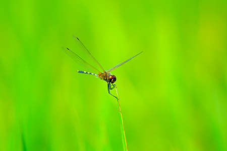 arthropod: dragonfly