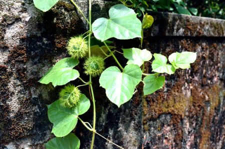 thorny: Wild creeper with thorny fruit and gel like pulp