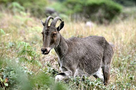 ibex ram: Endangered Wild Goat Stock Photo