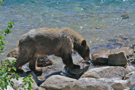 grizzled: Bear looking for fish at Lake George, Mammoth Lakes, California