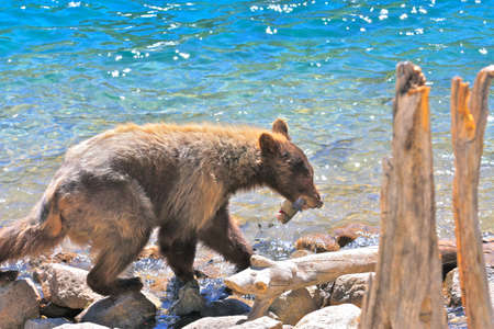 mammoth lakes: California bear stealing a fish caught by an angler Stock Photo