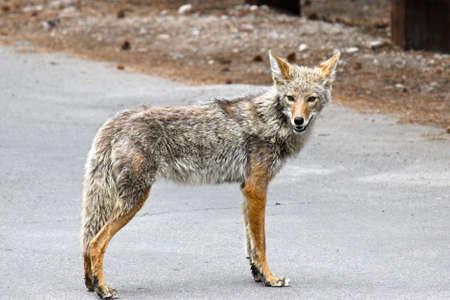 unafraid: Coyote staring at the camera