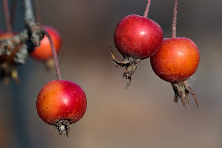 pyrus: Small red apples (lat. Pyrus malus) on tree in autumn, macro