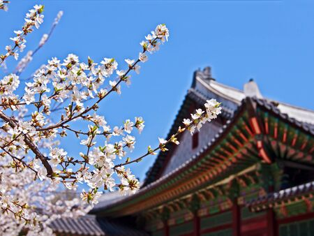 a traditional korean: Blooming sakura branches near old royal palace in Seoul Stock Photo