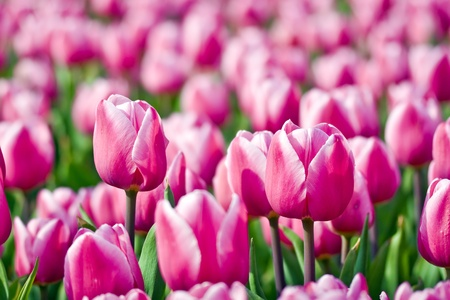 Many pink tulips with shallow depth of focus