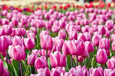 tulips in green grass: Pink tulips with shallow depth of focus