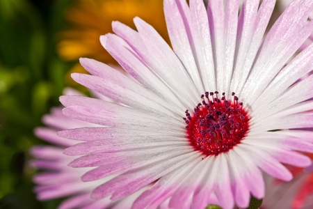 Closeup of a single beautiful daisy flower Stock Photo - 9617394