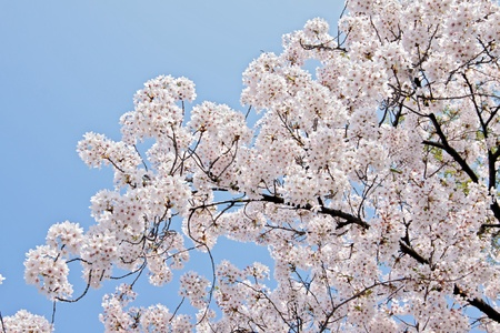 Cherry blossoms Stock Photo - 13485175