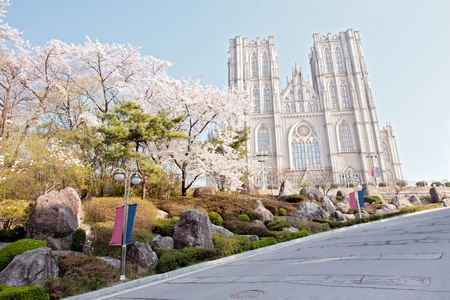 Blooming cherry trees with gothic cathedral and blue sky on background photo