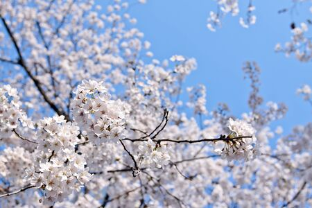 Branch of blooming cherry with selected focus photo