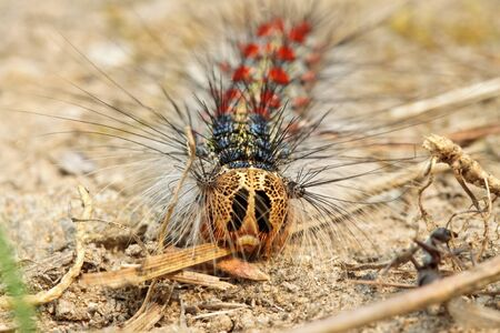 Big hairy caterpillar crawling on the ground photo
